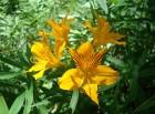 Flor de Amancaya